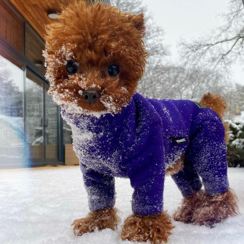 Teacup poodle wearing a sweater in the snow