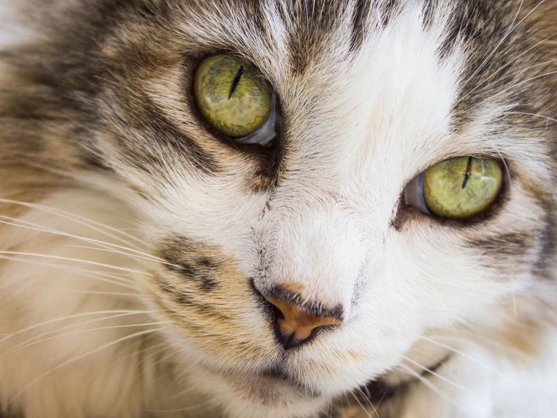 Pixiebob Cats