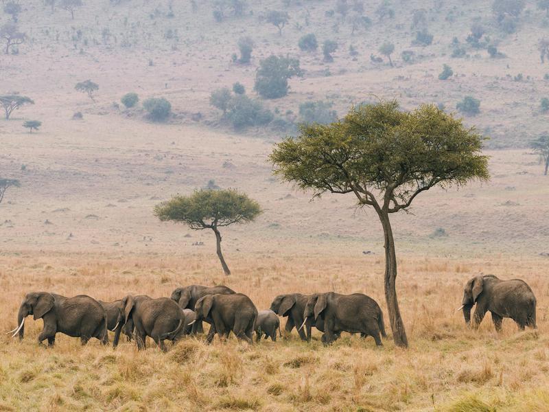 Elephants Out for a Walk
