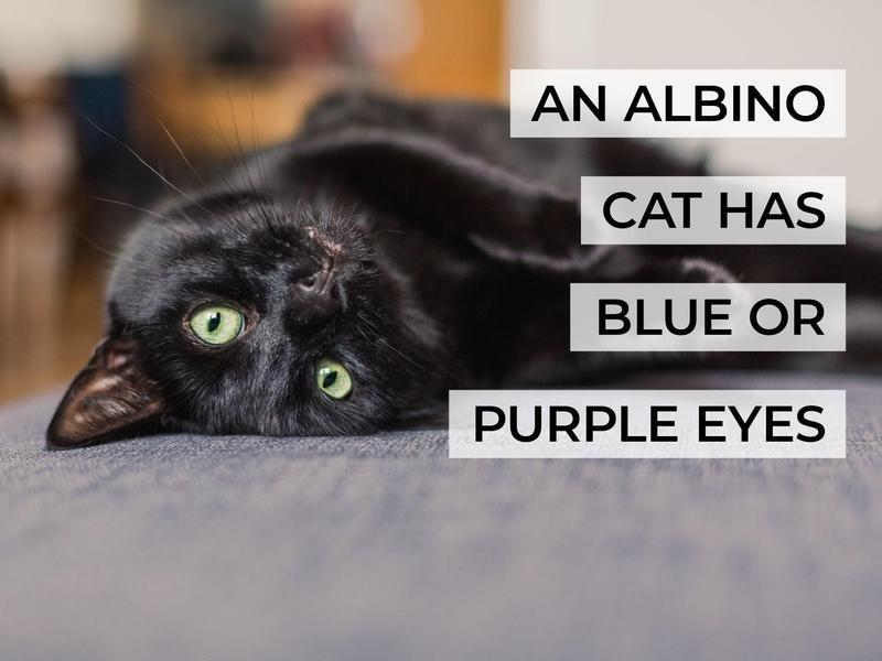 An Albino Cat Has Blue or Purple Eyes
