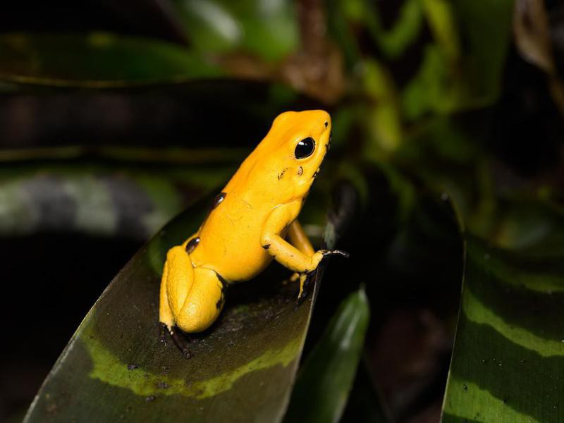 Golden poison frog in the Colombian Pacific