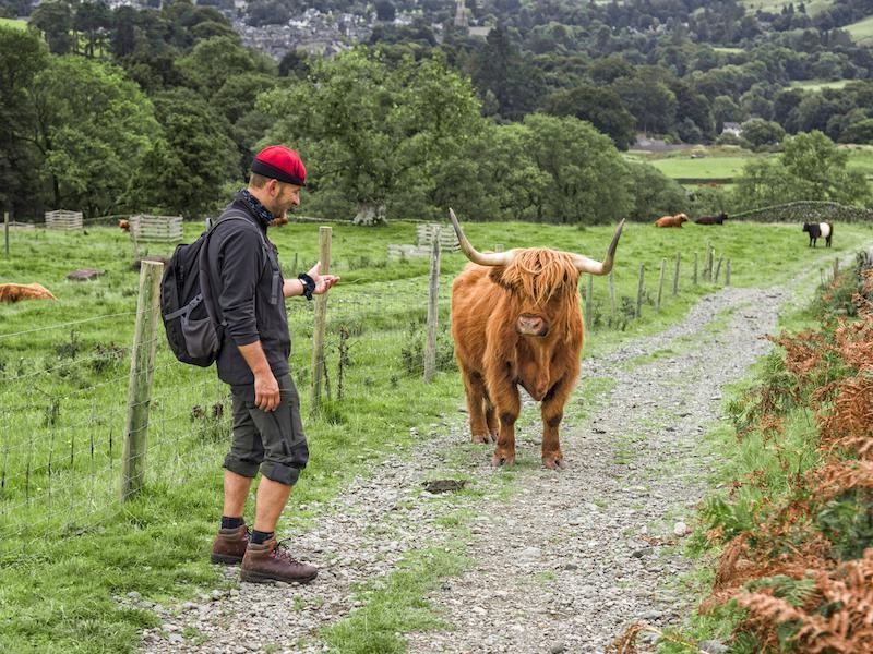 Scottish cow