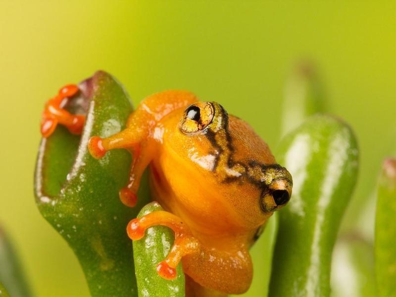 golen frog