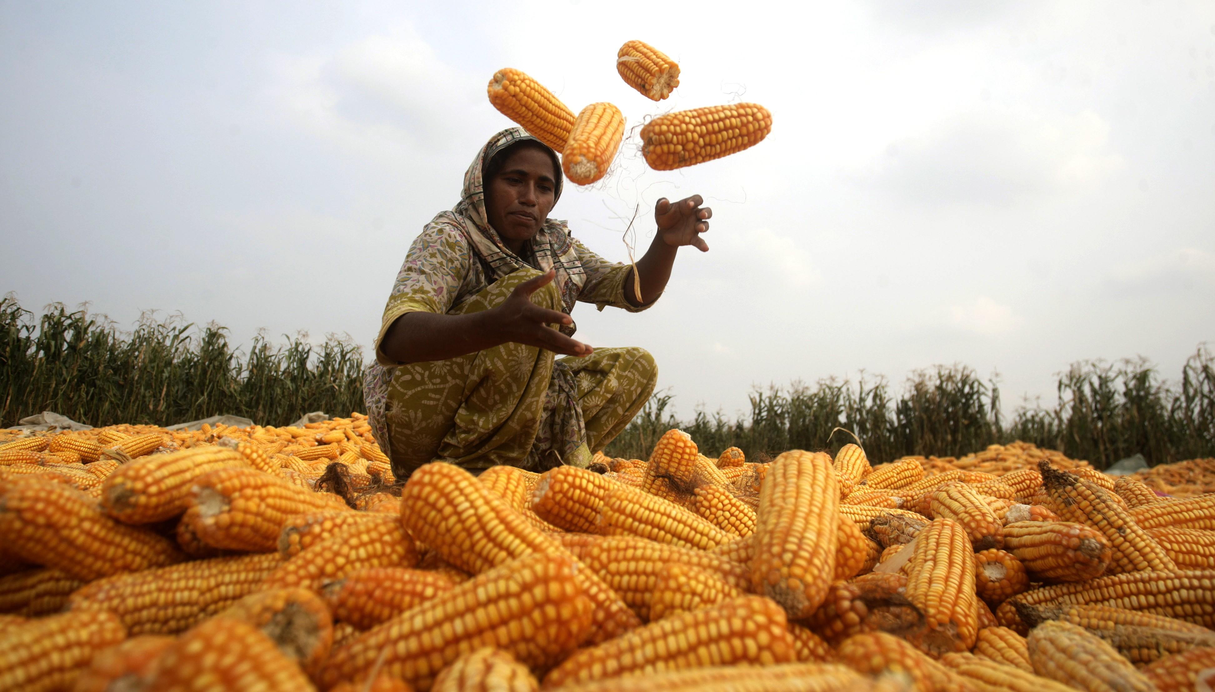 Corn in Pakistan