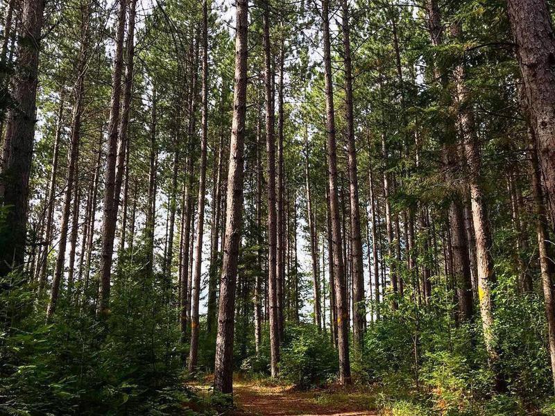Pine trees at Hayes Lake