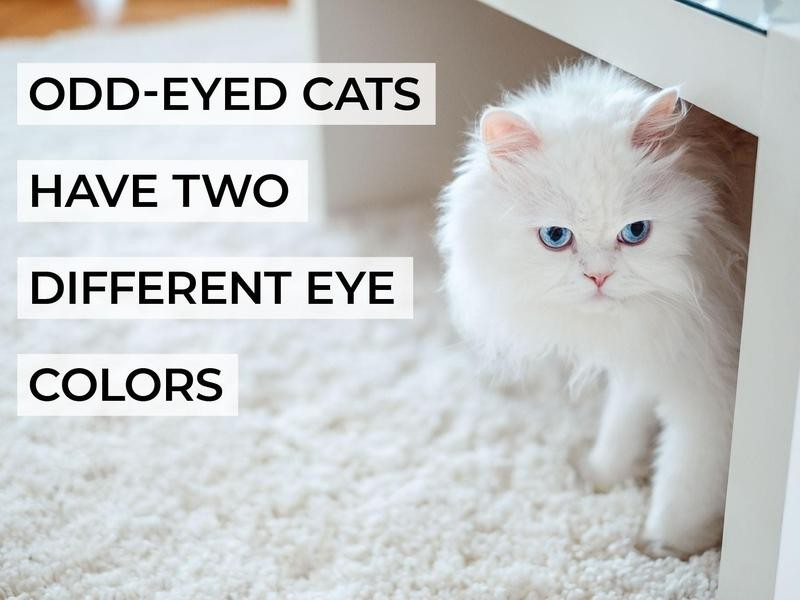 Odd-Eyed Cats Have Two Different Eye Colors