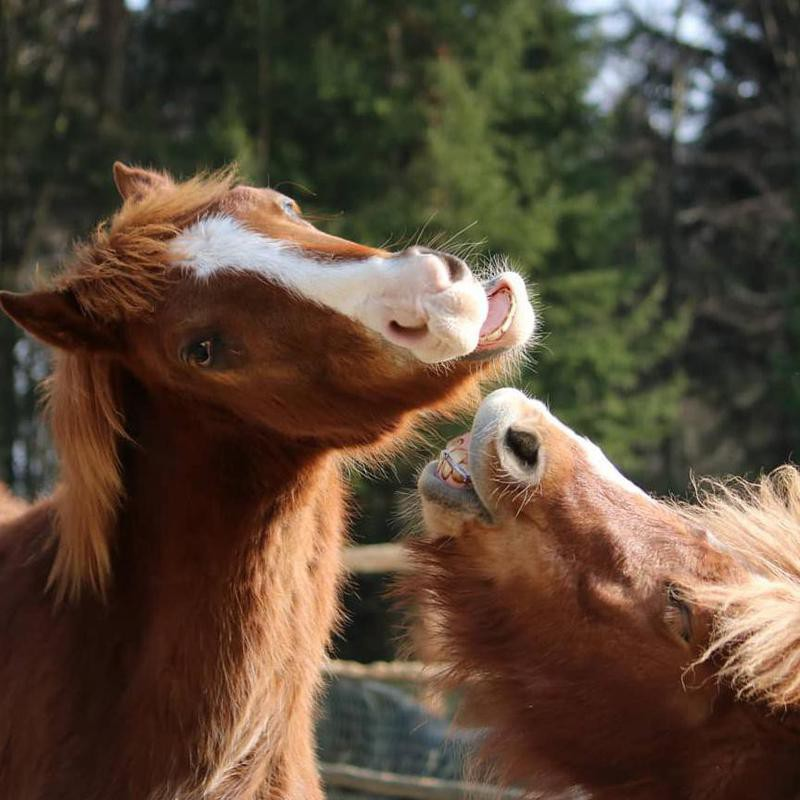 Horses Smiling With Each Other