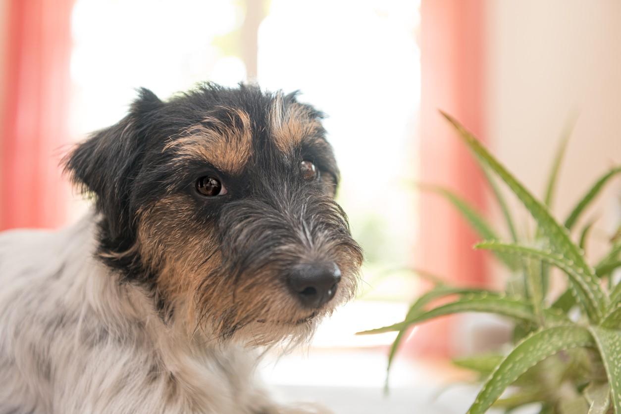 Dog with aloe plant
