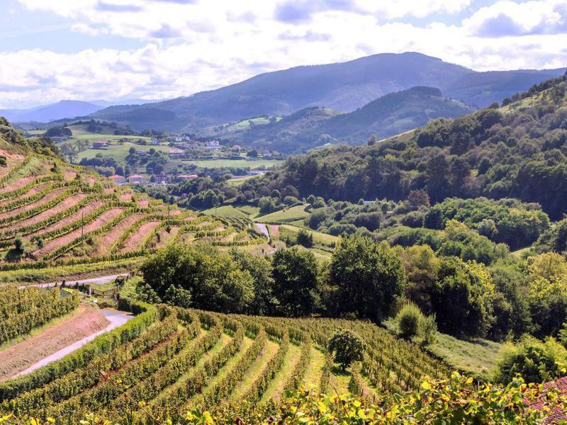 Vineyard in Basque Country