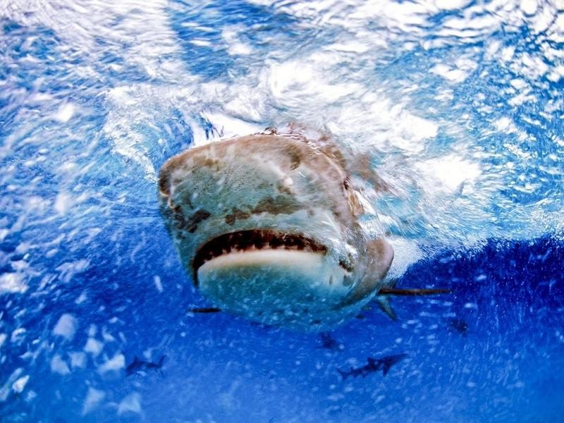 Front view of a tiger shark