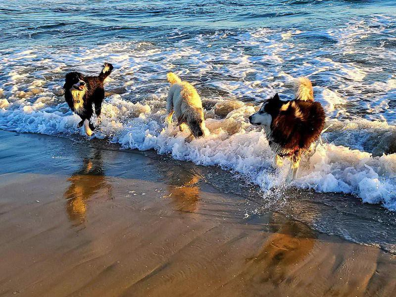 Dogs playing in the water at Huntington Dog Beach