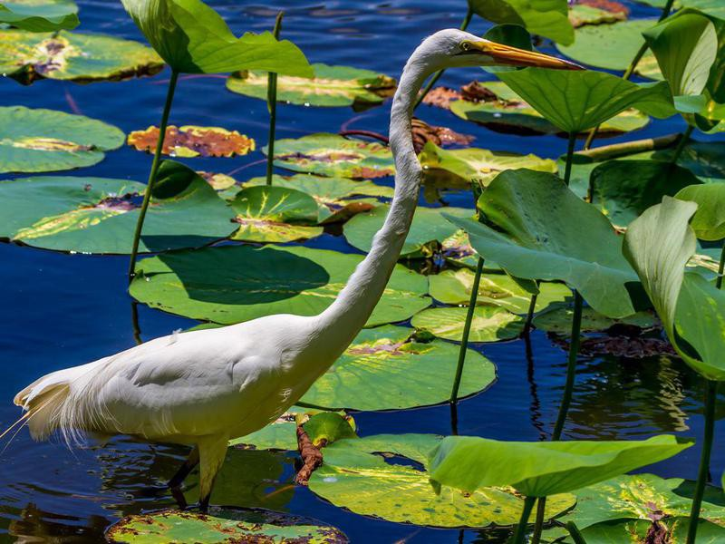 Great White Egret at Brazos Bend State Park