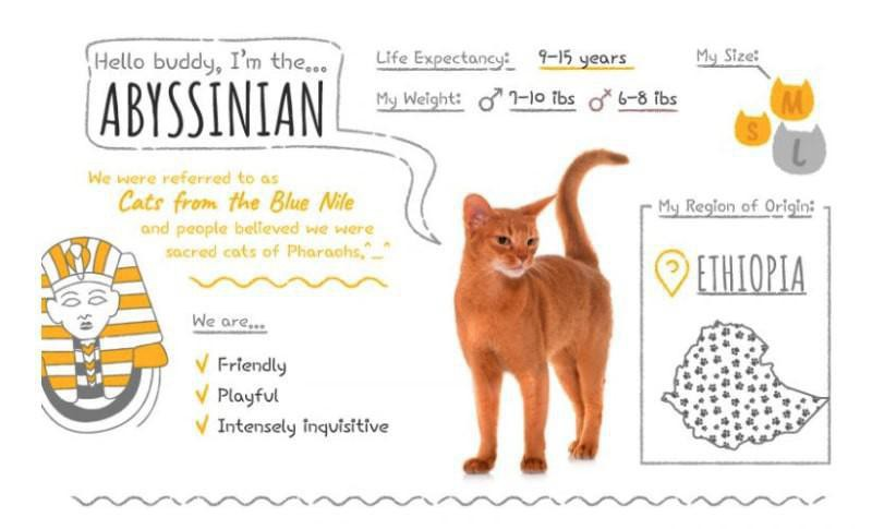 Abyssinian stats