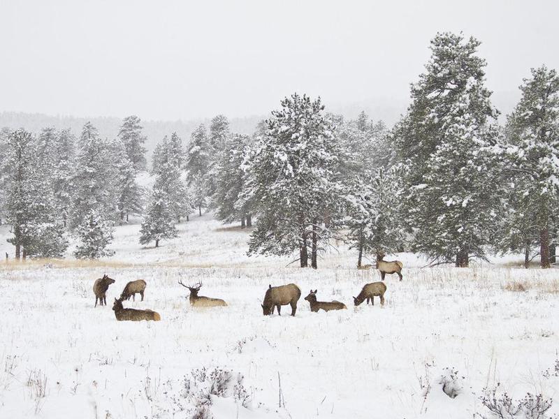 Herd of elk in Rocky Mountain