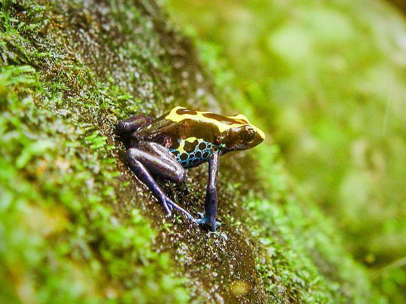 poison-dart frog