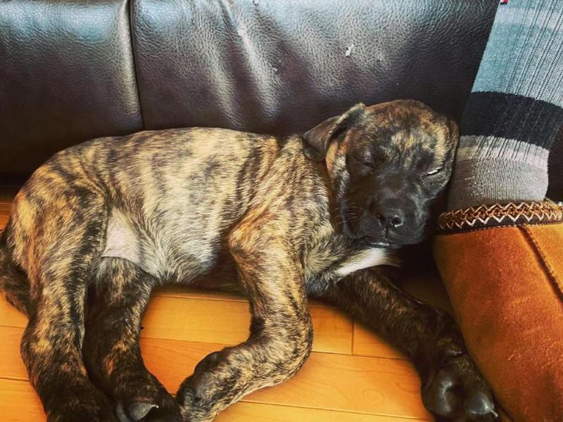 Mastiff puppy sleeping