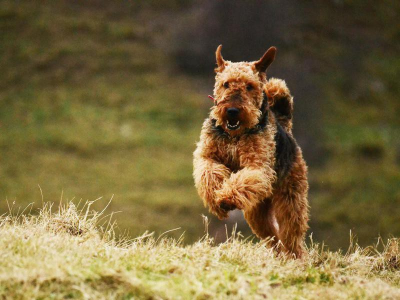 Airedale Terrier Overview
