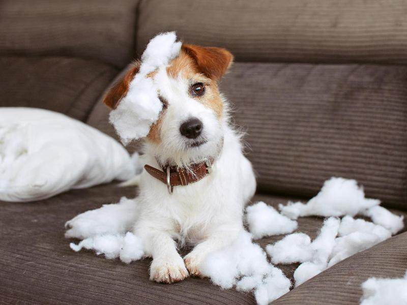 Dogs Look Guilty When They've Done Something Wrong