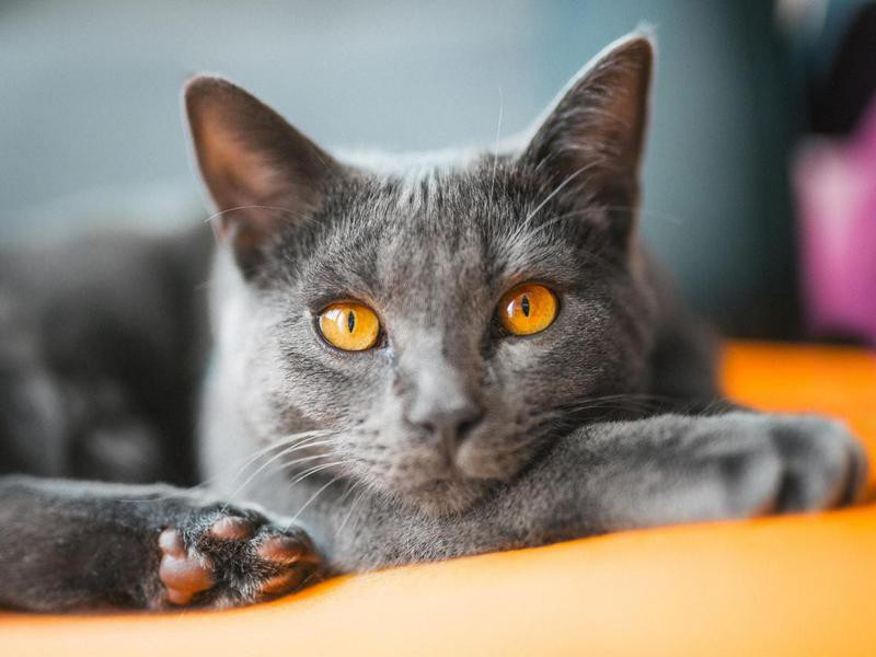 Chartreux lying on a chair