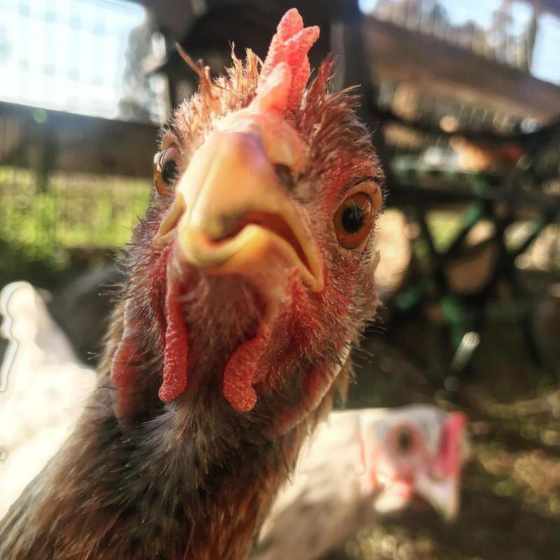 Chicken photobombing another chicken