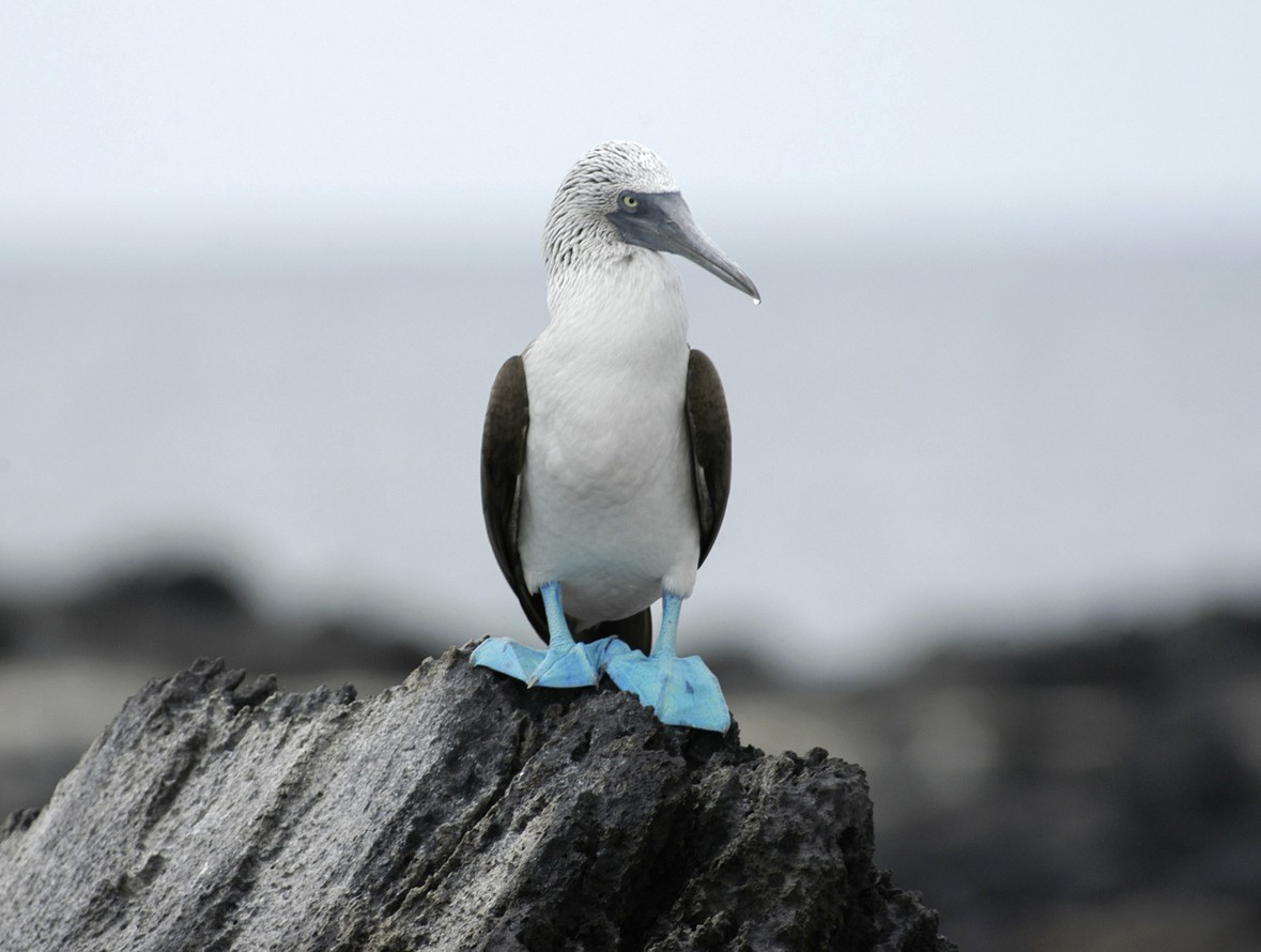 Blue-footed booby in the Galapagos