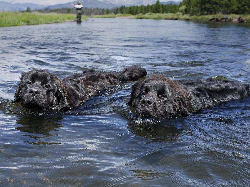 Newfoundlands swimming