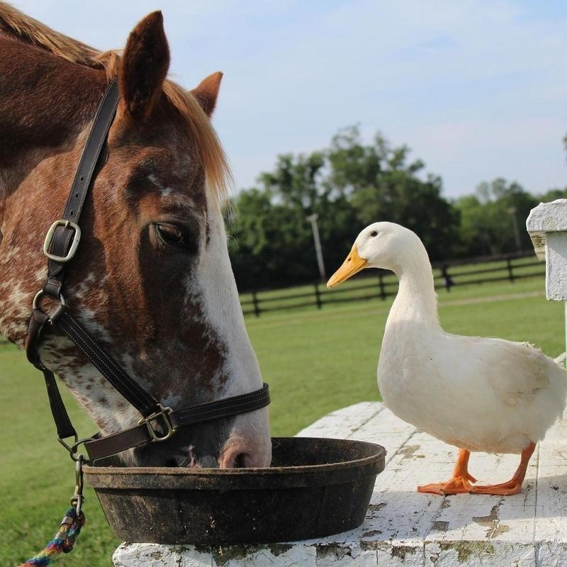 Horse and duck