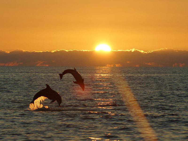 Leaping pair of dolphins in Sanibel Island