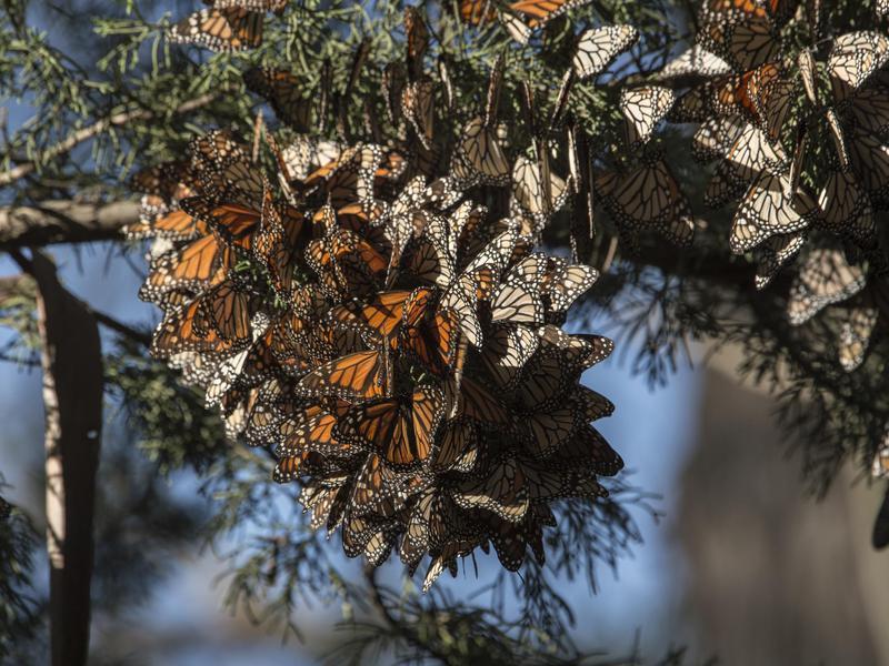 Santa Cruz Butterflies
