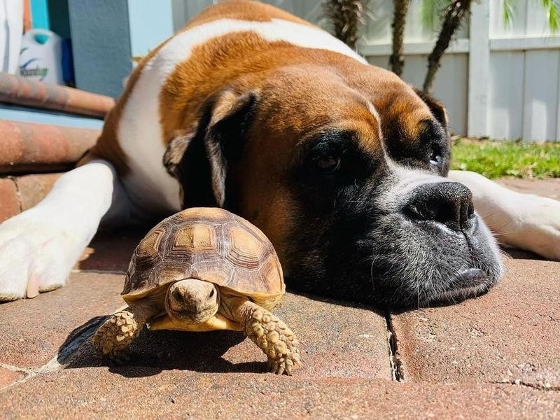 Boxer and turtle