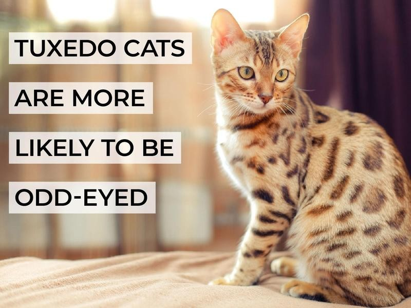 Tuxedo Cats Are More Likely to Be Odd-Eyed