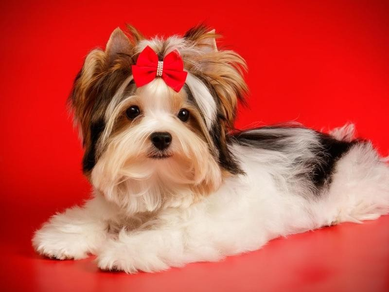 The Biewer Terrier Comes in 3 Color Combos