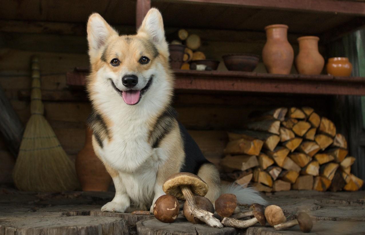 Dog rests after a walk for mushrooms