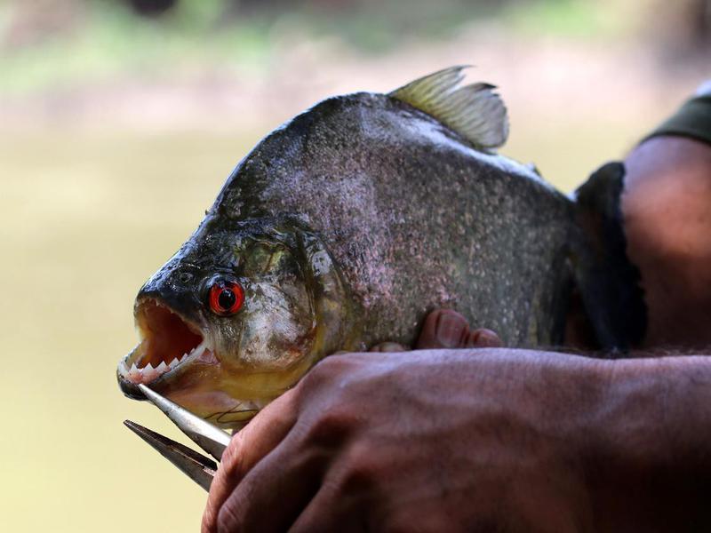 big piranha - Amazon, Brazil, South America