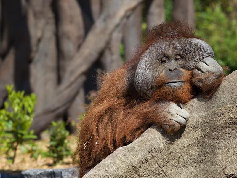 Orangutan at the Dublin Zoo