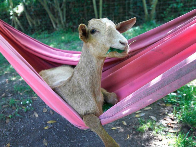 goat in hammock