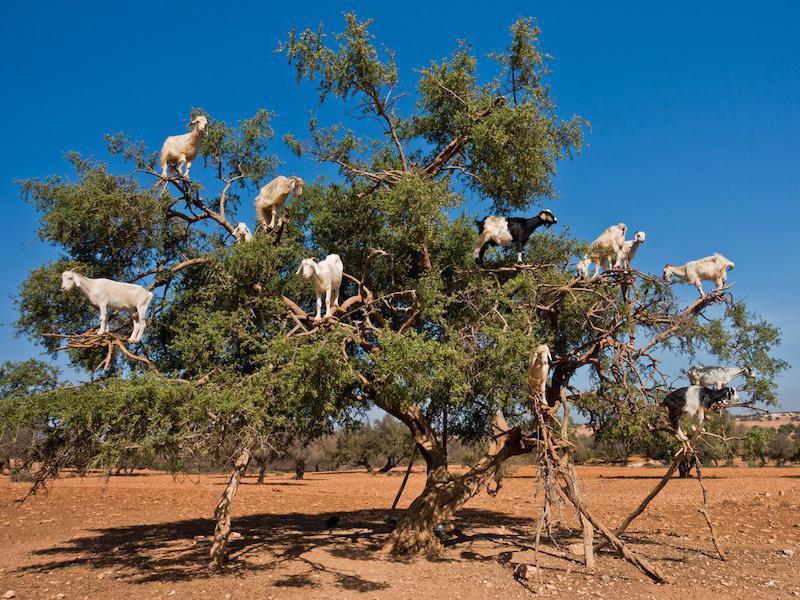 Tree goats