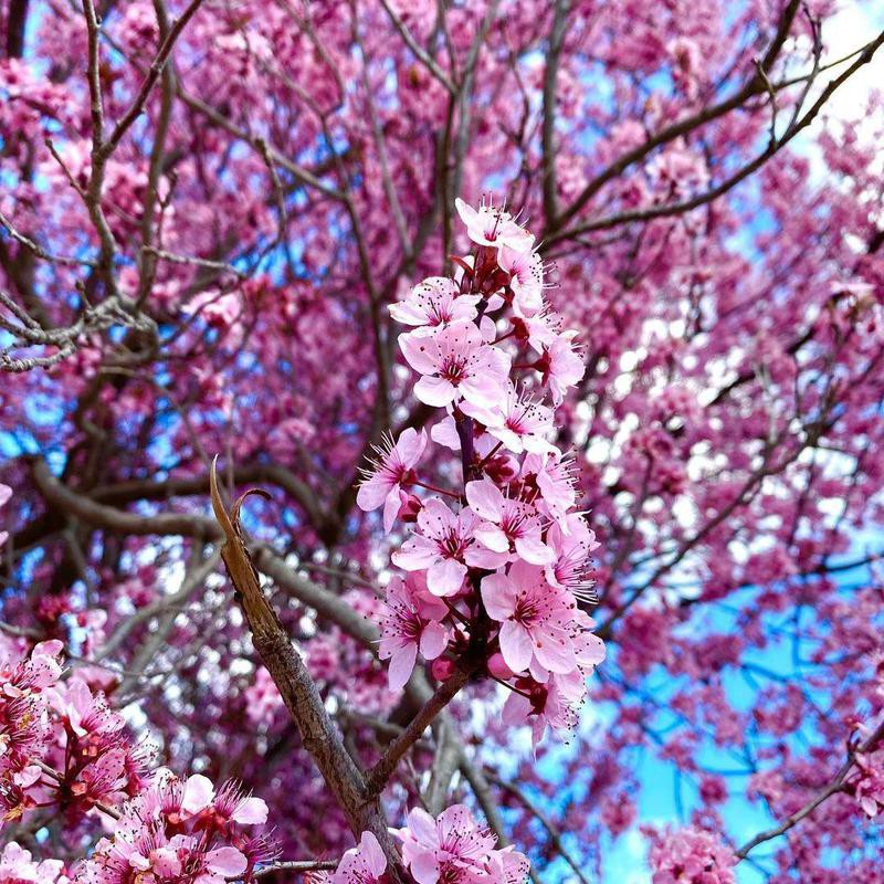 Cherry blossoms in South Wales, Australia