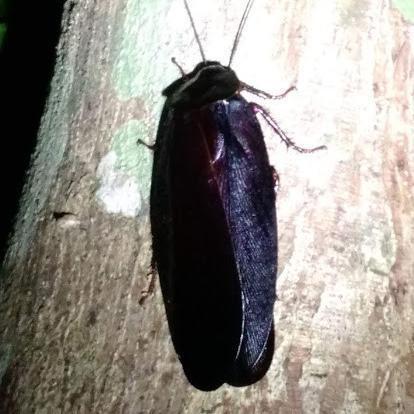 Megaloblatta Longipennis Cockroach