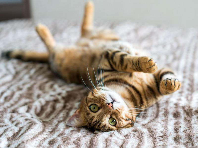Cute bengal funny cat playing