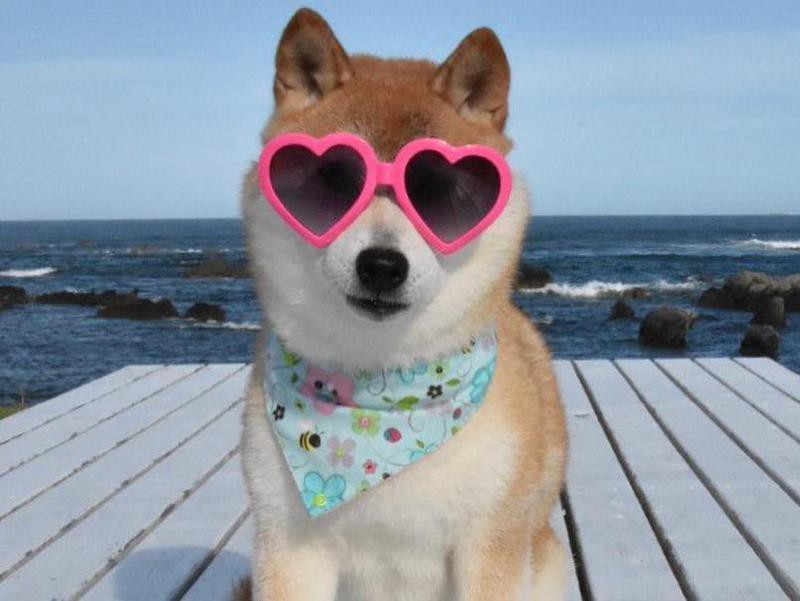 Kabosu wearing sunglasses
