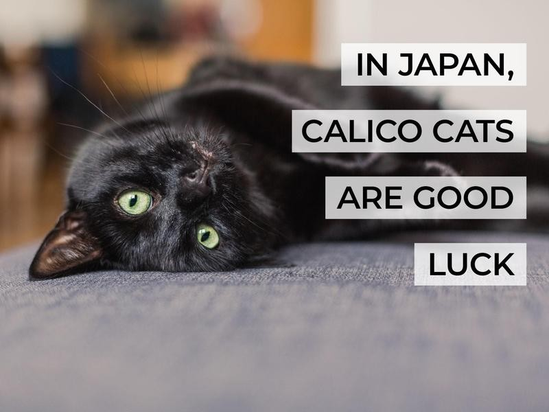 In Japan, Calico Cats Are Good Luck