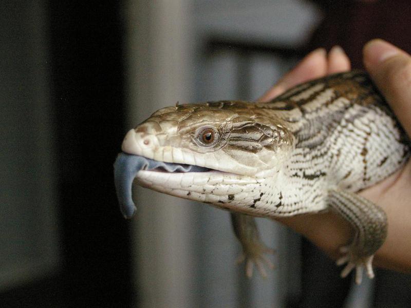 Pet Blue Tongued Skink