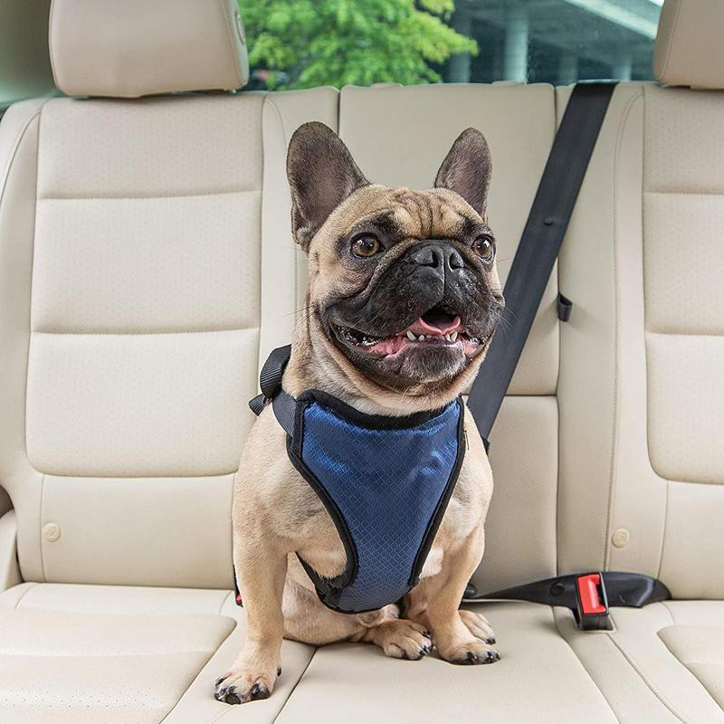 Bulldog in car with harness
