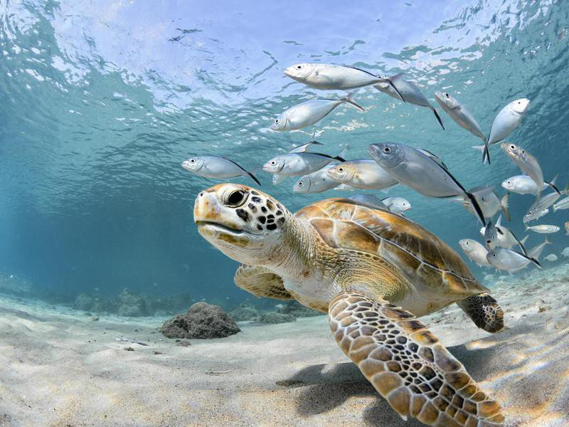 Green turtle with school of fish