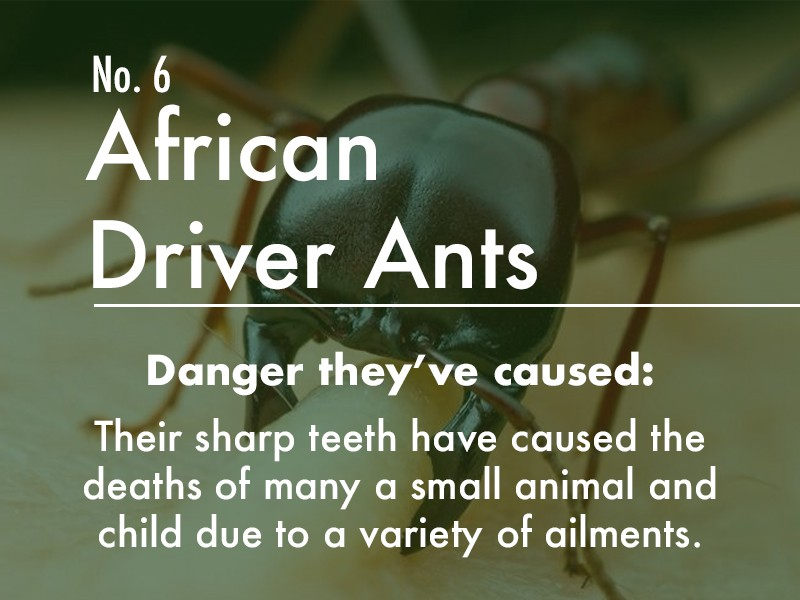 African Driver Ant dangers
