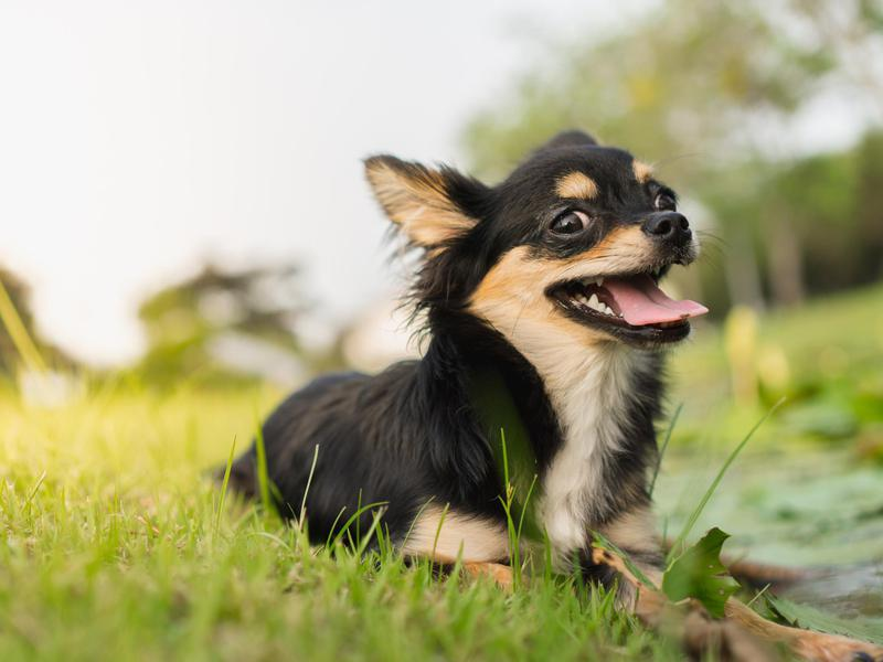 chihuahuas are popular small dogs