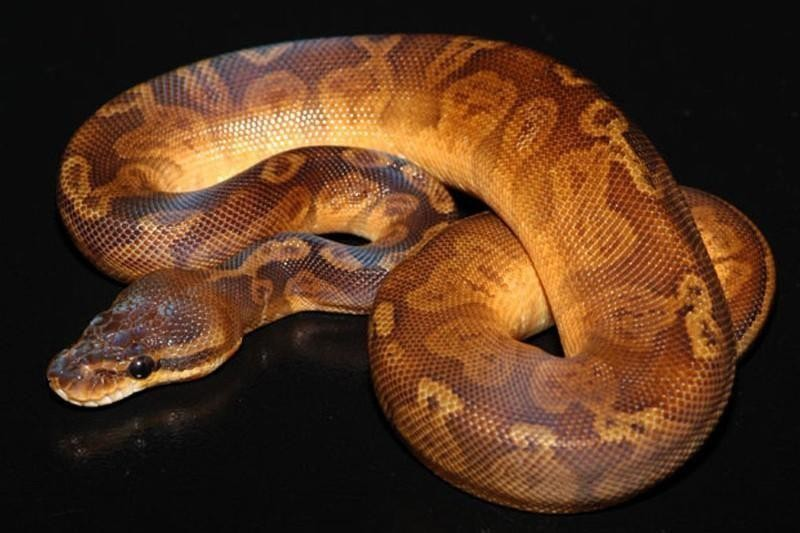 Sunset Ball Python