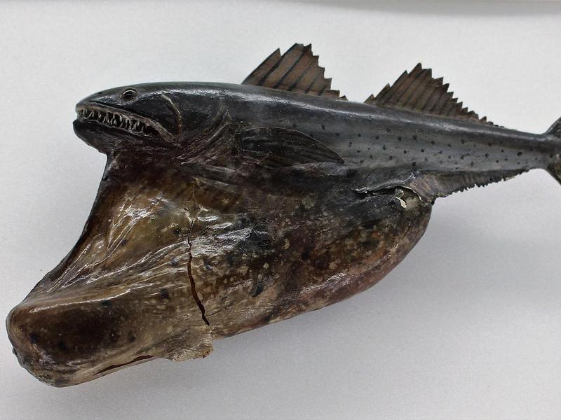 Black Swallower Scary Sea Creature
