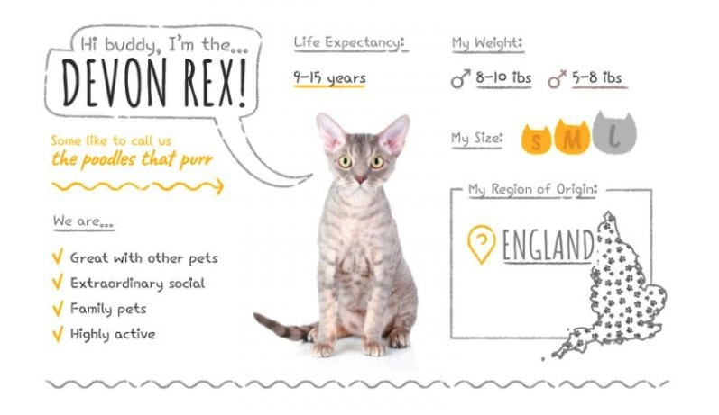 Devon Rex stats